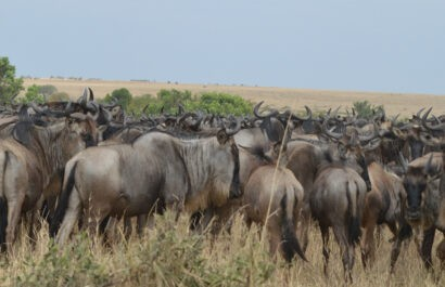 amazing-facts-about-the-annual-wildebeest-migration
